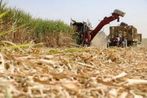 برداشت نیشکر در خوزستان آغاز شد/ پیشبینی تولید ۶۳۰ هزار تن شکر